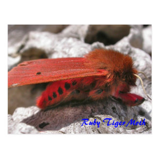 Moth Magic: Ruby Tiger Moth postcard