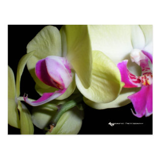 Moth Orchid Post Card