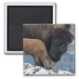 Mother and Baby Buffalo 2 Inch Square Magnet