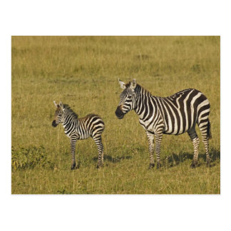 Mother and baby Burchell's Zebras, Equus Post Cards