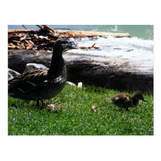 Mother and baby duck postcard