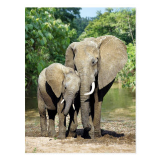 Mother And Baby Elephant Postcard
