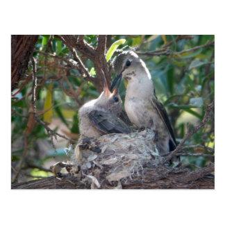 Mother And Baby Hummingbird Postcard