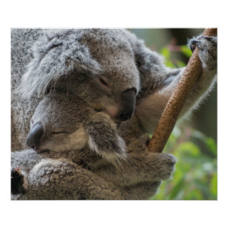 Mother and baby joey koalas asleep cuddling poster
