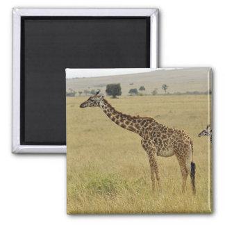Mother and baby Masai Giraffe, Giraffa 2 Magnet