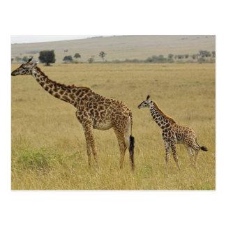 Mother and baby Masai Giraffe, Giraffa 2 Postcard