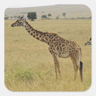 Mother and baby Masai Giraffe, Giraffa 2 Square Sticker