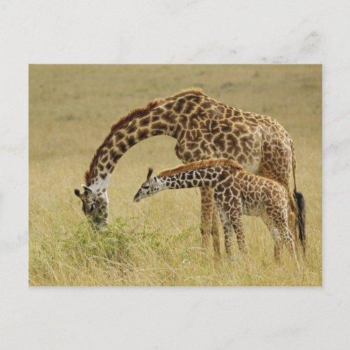 Mother and baby Masai Giraffe Giraffa Postcard