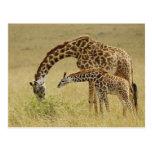 Mother and baby Masai Giraffe, Giraffa Postcards