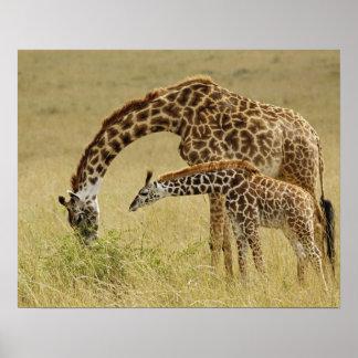 Mother and baby Masai Giraffe, Giraffa Poster