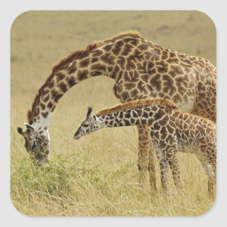 Mother and baby Masai Giraffe, Giraffa Square Sticker
