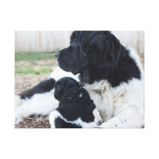 Mother and baby Newfoundland Canvas Print