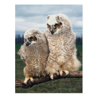 Mother and Baby Owl Postcard