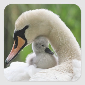 Mother And Baby Swan Square Sticker