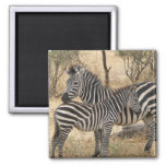 Mother and Baby Zebra Magnet