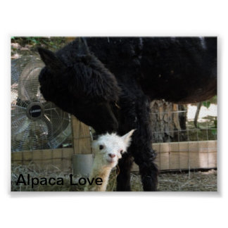Mother and daughter alpaca poster