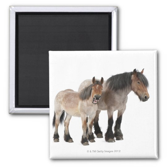 Mother and foal smiling, Belgian horse, Belgian Magnet