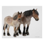 Mother and foal smiling, Belgian horse, Belgian Poster
