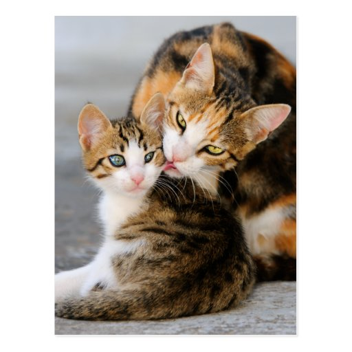 Mother cat licking its young kitten tenderly. postcard