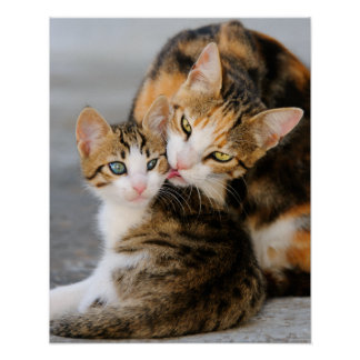 Mother cat licking its young kitten tenderly. posters