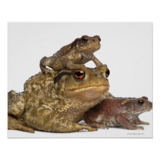 mother Common toad and her babies - bufo bufo Poster