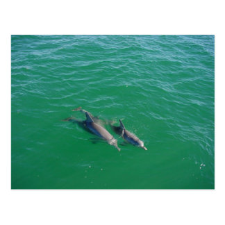 Mother Dolphin Swimming With Her Two Off-Springs Postcard