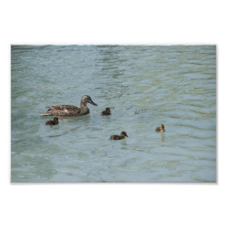 Mother Duck Teaching Swimming To Her Infants In Th Poster