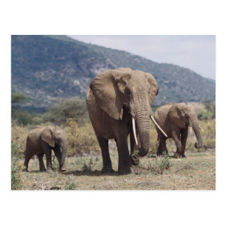 Mother elephant walking with elephant calf postcard