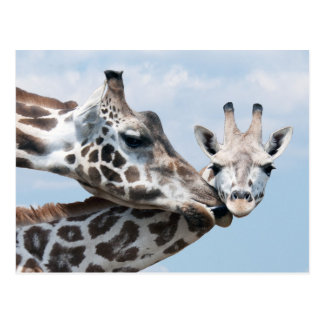 Mother giraffe kisses her calf postcard