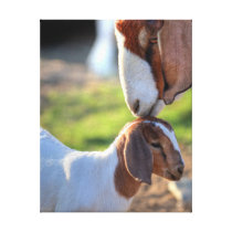Mother Goat & Baby Canvas Print