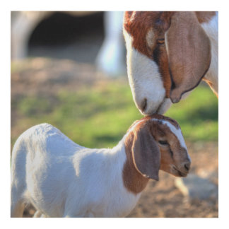 Mother goat kissing her baby on head. panel wall art