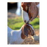 Mother goat kissing her baby on head. post card