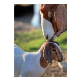 Mother goat kissing her baby on head. poster