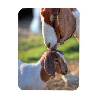 Mother goat kissing her baby on head. rectangular photo magnet