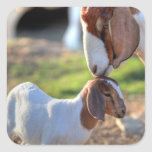 Mother goat kissing her baby on head. square sticker