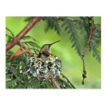 Mother Hummingbird on Nest Post Card
