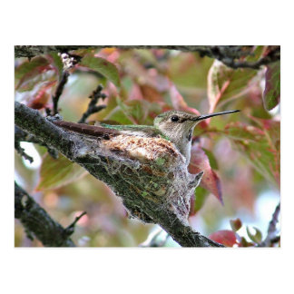 Mother Hummingbird on Nest Postcard