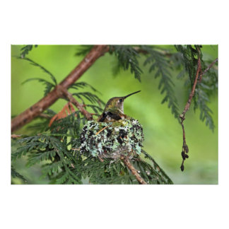 Mother Hummingbird on Nest Poster