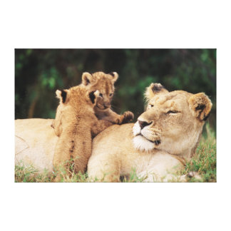 Mother lion with cubs stretched canvas prints