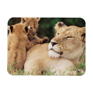 Mother lion with cubs rectangular photo magnet