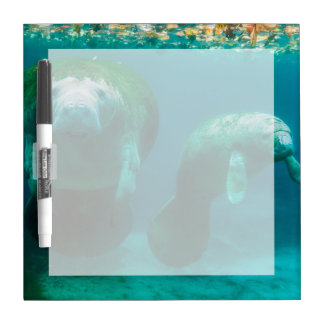 Mother manatee with her calf in Crystal River Dry-Erase Board