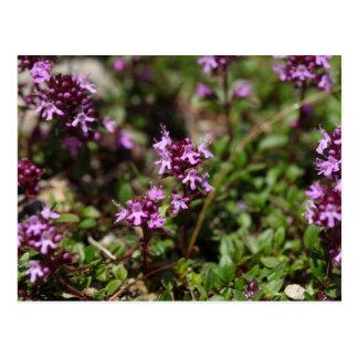 Mother of thyme flowers (Thymus praecox) Postcard