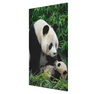 Mother panda and baby in the bamboo bush, Wolong Canvas Print