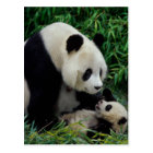 Mother panda and baby in the bamboo bush, Wolong Postcard