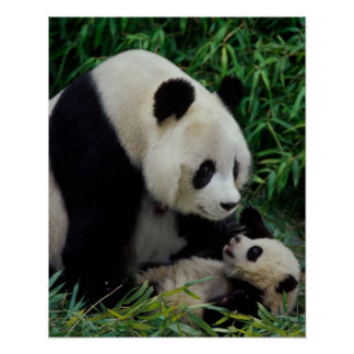 Mother panda and baby in the bamboo bush, Wolong Poster