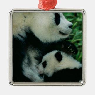 Mother panda nursing cub, Wolong, Sichuan, China Metal Ornament