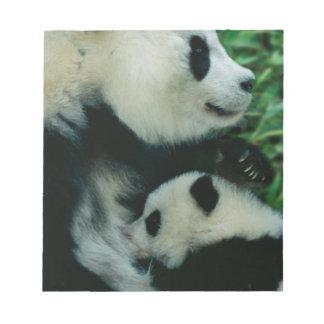 Mother panda nursing cub, Wolong, Sichuan, China Scratch Pad