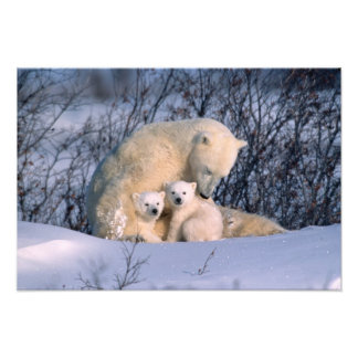 Mother Polar Bear Sitting with Twins, Photo Print
