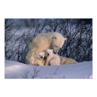 Mother Polar Bear Sitting with Twins Poster