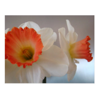 MOTHER'S DAY GIFTS 4 POSTCARDS NARCISSUS Flowers